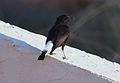 Black Wheatear, Isla Plana 3.jpg