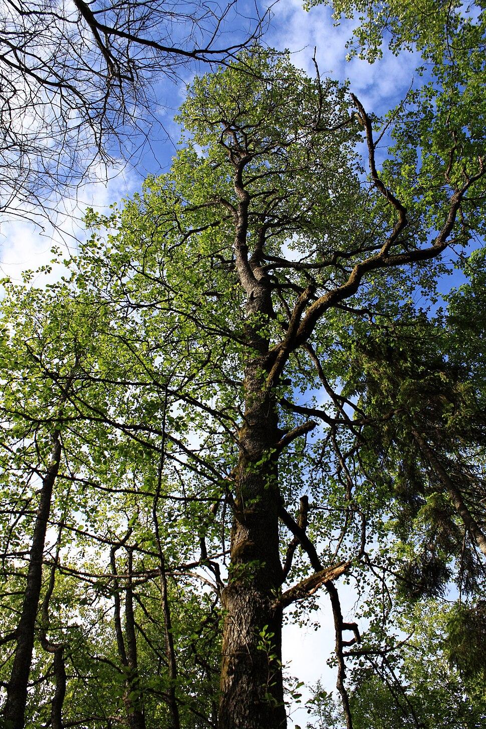 Black alder in spring