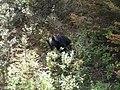 Black bear, Yellowstone NP - panoramio.jpg