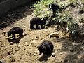 Black bears in vandalur zoo.jpg
