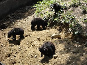 Arignar Anna Zoological Park - Sloth bears in their near-natural habitat in the zoo