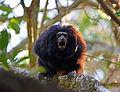 Black lion tamarin Pontal do Paranapanema 3.jpg