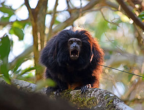 Black lion tamarin Pontal do Paranapanema 3.jpg