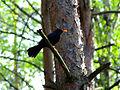 Blackbird (3158220586).jpg