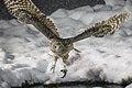 Blakiston's fish owl.jpg