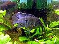 Blaupunktbuntbarsch (Aequidens pulcher) Männchen zur Paarungszeit.JPG
