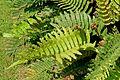 Blechnum cordatum (Blechnum chilense) - Savill Garden - Windsor Great Park, England - DSC06256.jpg