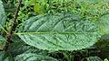 Blepharistemma serratum leaves 02.JPG
