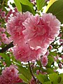 Blossoms (3433438229).jpg