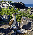 Blue-Footed Booby with offspring.jpg