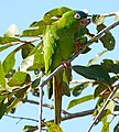Blue-crowned Parakeet (Aratinga acuticaudata) eating some fruit ... (27547526724).jpg