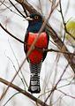 Blue-crowned Trogon.JPG