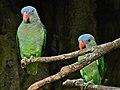 Blue-rumped Parrots Psittinus cyanurus (7116117161).jpg