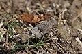 Blue-winged Grasshopper - Oedipoda caerulescens - panoramio (1).jpg