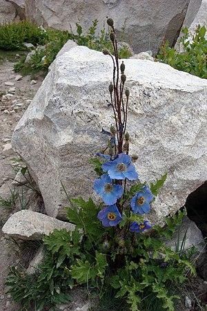 Meconopsis aculeata - Image: Blue Poppy