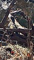 Blue Heron Ayr Mount Hillsborough NC 123518 (31630259780).jpg
