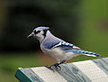 Blue Jay looking for a hand out!.jpg