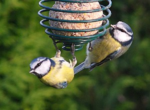 English: Blue Tits sharing food Notice that th...