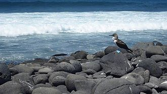 North Seymour Island - Image: Blue footed Booby on North Seymour Island Galapagos photo by Alvaro Sevilla Design