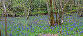 Bluebell Wood 4 (7116078699).jpg