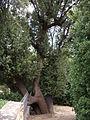 Boboli, albero 01.JPG
