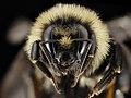 Bombus ternarius, F, Face, NY, Franklin County 2014-07-01-16.25 (40078044651).jpg