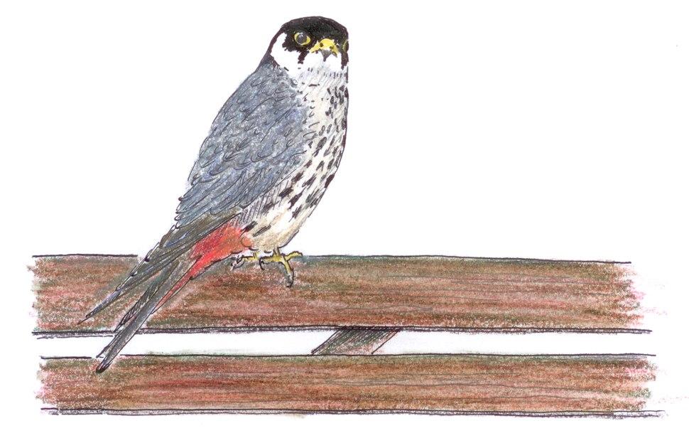 Boomvalk Falco subbuteo Jos Zwarts 2