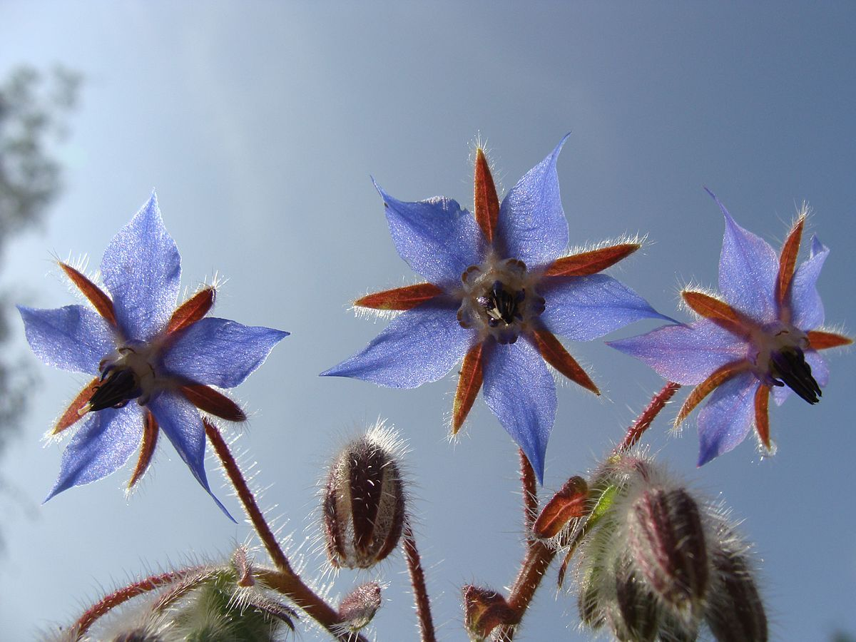 Borage Wikipedia