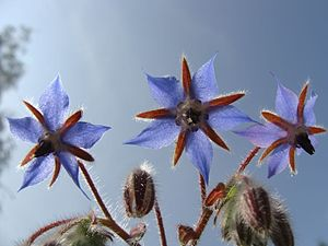 Borage - Borage flower