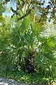 Borassus flabellifer - Naples Botanical Garden - Naples, Florida - DSC09774.jpg