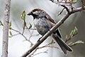 Boreal Chickadee (7452330700).jpg