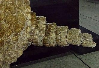 Boreostemma - Tail of Boreostemma from the Honda Group