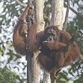 Bornean orangutan (Pongo pygmaeus), Tanjung Putting National Park 06.jpg