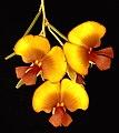 Bossiaea eriocarpa - Flickr - Kevin Thiele.jpg