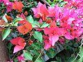 Bougainvillea glabra of Bangladesh 06.jpg