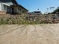 Bouteloua aristidoides - needle grama - Flickr - Matt Lavin.jpg