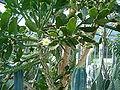 Brasiliopuntia brasiliensis HabitusFlowers BotGard0906.JPG