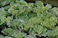Brassica Osaka White 1zz.jpg