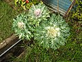 Brassica oleracea osaka white-1-nuwara eliya-Sri Lanka.jpg