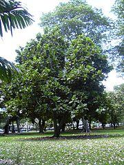 Breadfruit tree planted in Honolulu, Hawaii