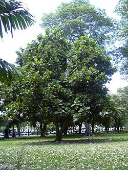Árbore do pan (Artocarpus altilis).