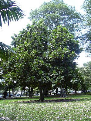 Breadfruit - Breadfruit tree planted in Honolulu, Hawaii
