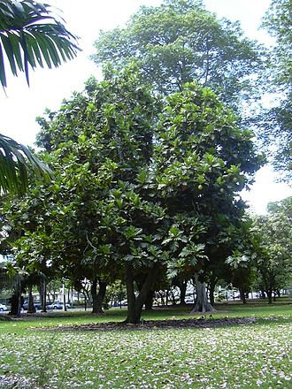 Breadfruit - A breadfruit tree in Honolulu, Hawaii