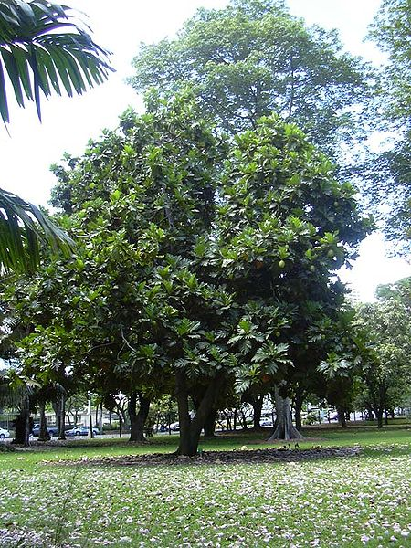 File:Breadfruit Tree.jpg