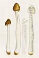 Bresadola - Verpa agaricoides.png