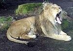 Bristol.zoo.lion.yawns.arp.jpg