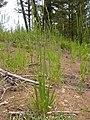 Bromus carinatus (3731512671).jpg