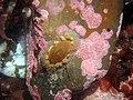 Brooding sea anemone Epiactis prolifera 2.jpg