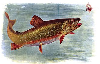 Brook trout - Brook trout chasing an artificial fly from American Fishes (1903)