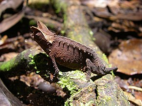Description de l'image Brookesia_superciliaris_01.jpg.